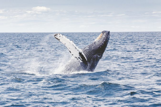 baleine-à-bosses